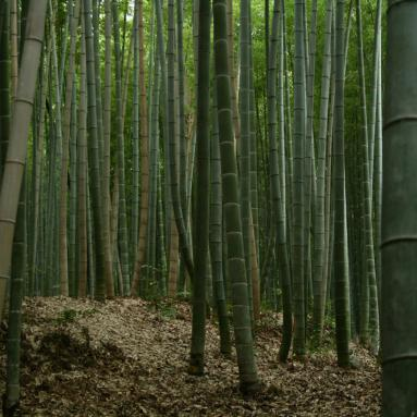 Bamboo forest in Japan photograph by Alexander Lamont